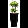 Dracaena Surprise met pot - hydrocultuur