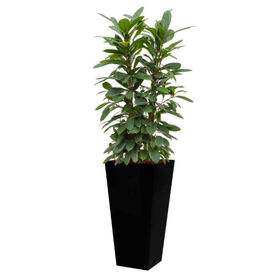 Fleur.nl - Ficus Cyathistipula in watergevende pot - square