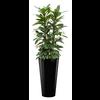 Ficus Cyathistipula met pot - hydrocultuur