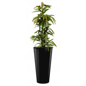 Fleur.nl - Ficus Amstel King in watergevende pot - round