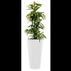Ficus Amstel King met pot - hydrocultuur