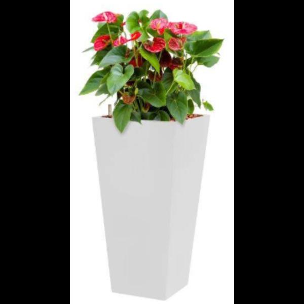 Anthurium Sierra met pot - hydrocultuur