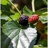 Morus nigra Zwarte moerbei
