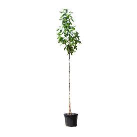Fleur.nl - Morus nigra - Zwarte moerbei boom