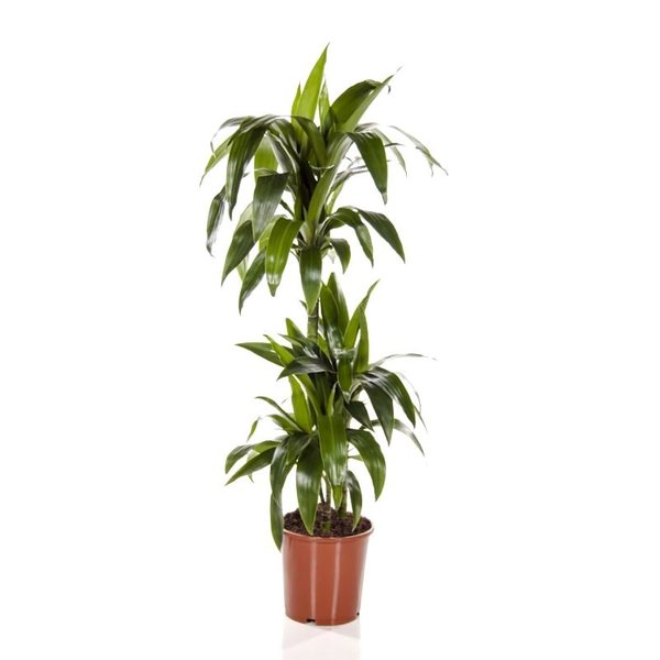 Dracaena drie stammen large