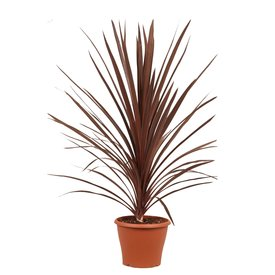 Fleur.nl - Cordyline 'Red Star' Rode koolpalm