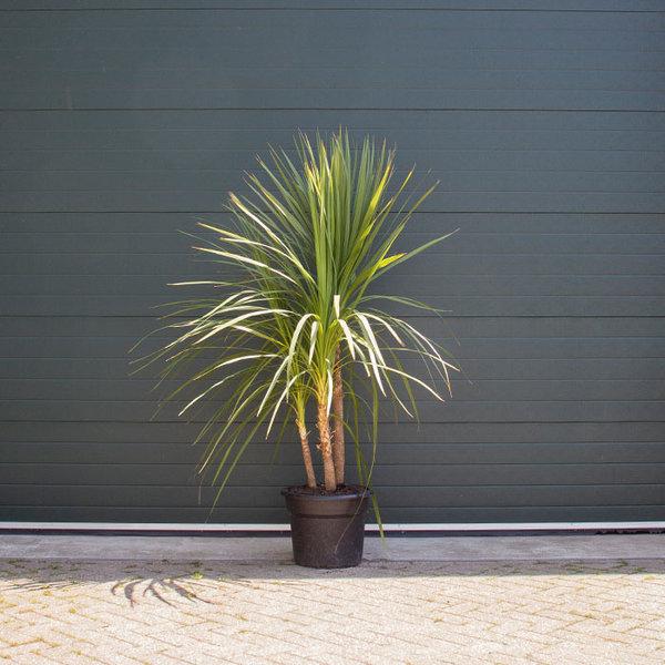 Cordyline Indivisa meerstammig - Groene Koolpalm