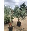 Bismarckia Nobilis - Bismarck Palm