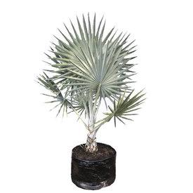 Fleur.nl - Bismarckia Nobilis - Bismarck Palm