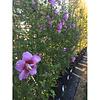 Hibiscus 'Flower Tower Purple'