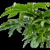 Philodendron Fun Bun