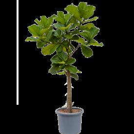 Fleur.nl - Ficus Lyrata stam vertakt XXXL