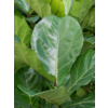 Ficus Lyrata Stam XXXL