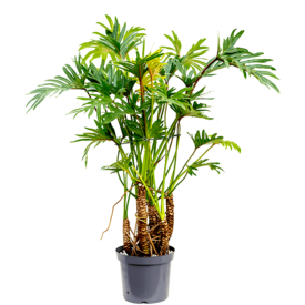 Fleur.nl - Philodendron Xantal Roots