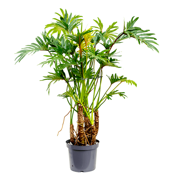 Philodendron Xantal Roots