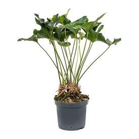 Fleur.nl - Anthurium Arrow