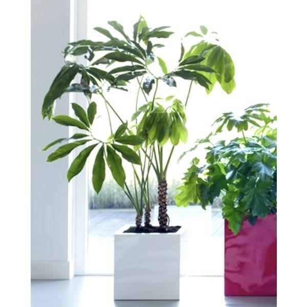 Philodendron Fun Bun  XXL