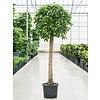 Ficus Benjamina Columnar - hydrocultuur