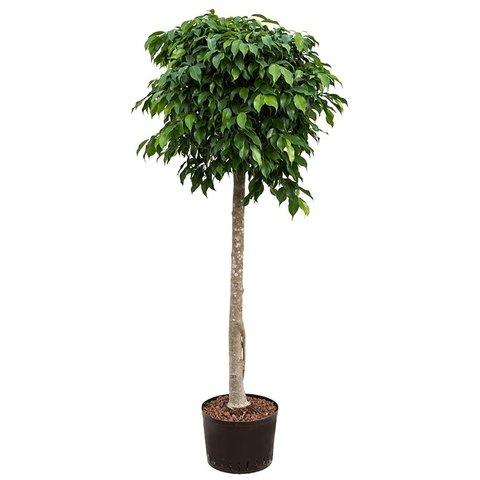 Ficus Benjamina Columnar XL - hydrocultuur