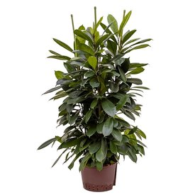Fleur.nl - Ficus Cyathistipula Straight - hydrocultuur