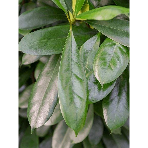 Ficus Cyathistipula Straight - hydrocultuur