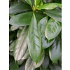 Ficus Cyathistipula op stam - hydrocultuur