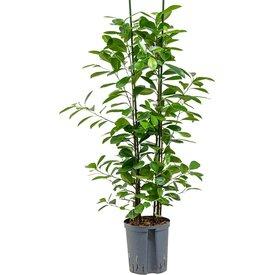 Fleur.nl - Ficus Moclame - hydrocultuur