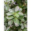 Ficus Moclame - hydrocultuur