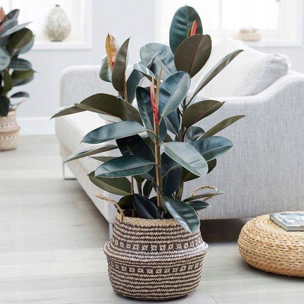 Ficus Elastica Abidjan - hydrocultuur