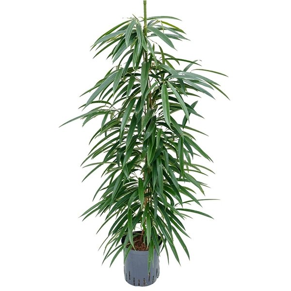 Ficus Alii - hydrocultuur