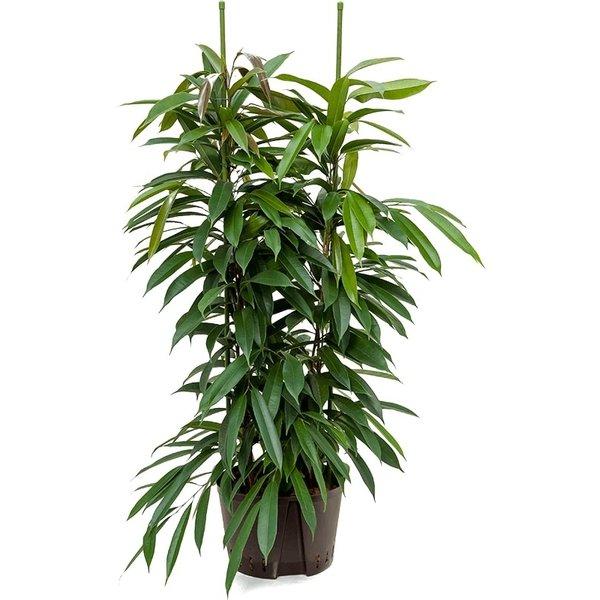 Ficus Amstel King Straight - hydrocultuur