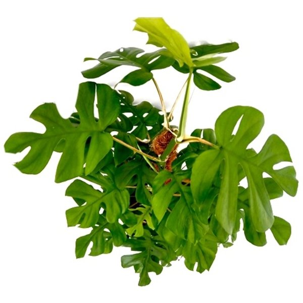 Philodendron Minima Zuil