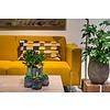 Philodendron Minima hangplant
