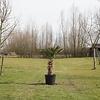 Trachycarpus Wagenrianus - Wagnerpalm