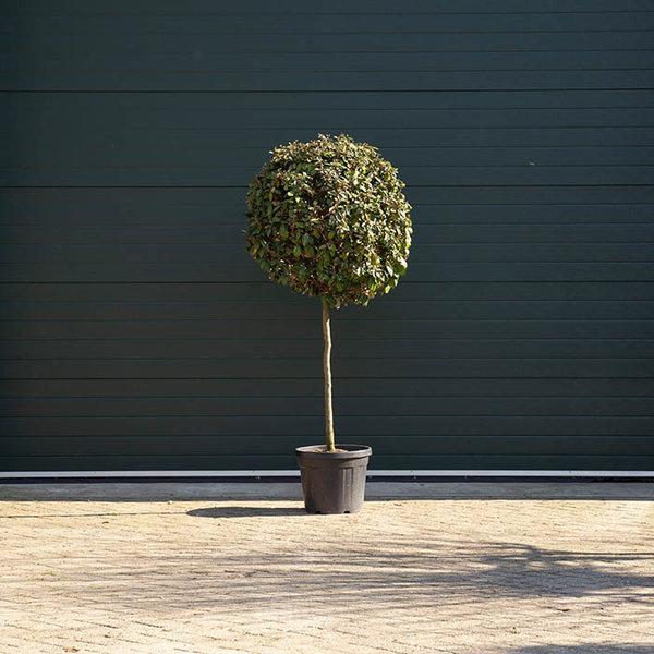 Olijfwilg bolvorm (Elaegnus ebbingei)