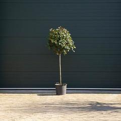 Photiniabomen