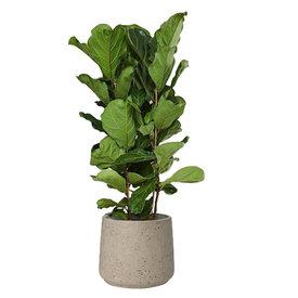 Fleur.nl - Ficus Lyrata Straight in pot Patt