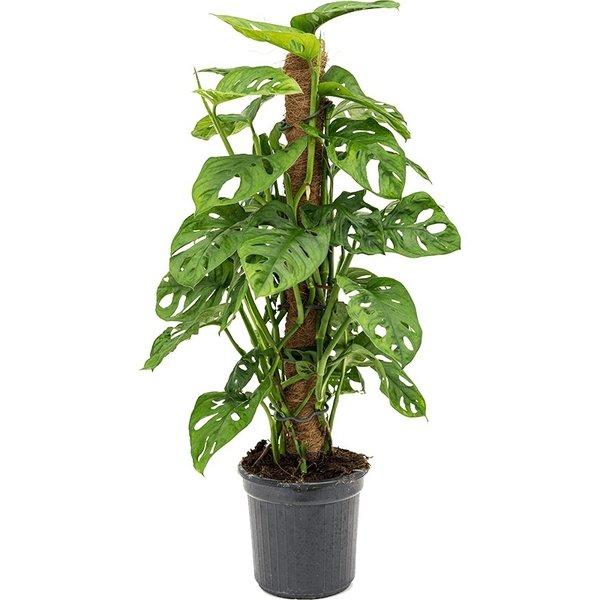 Philodendron Monkey Mask Adansonii