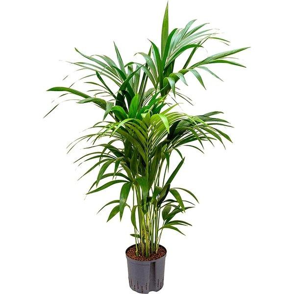 Kentia (howea) forsteriana - hydrocultuur