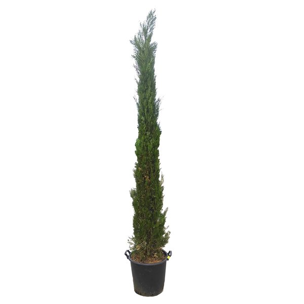 Cupressus sempr. 'Pyramidalis' Italiaanse Cipres
