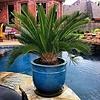 Cycas Revoluta - hydrocultuur