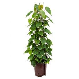 Fleur.nl - Philodendron Scandens draadzuil - hydrocultuur