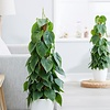 Philodendron Scandens draadzuil - hydrocultuur
