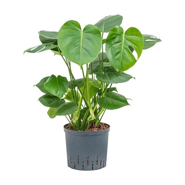 Philodendron Pertusem (Monstera) - hydrocultuur