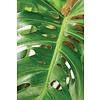 Philodendron Pertusem (Monstera) Mosstok - hydrocultuur