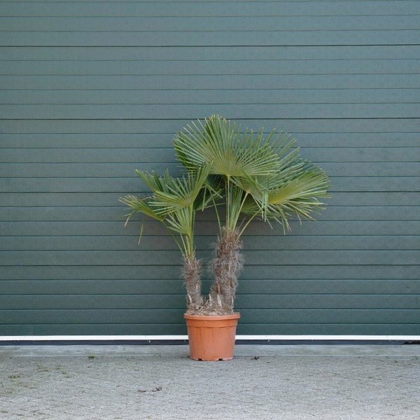 Trachycarpus fortunei duostam