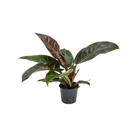Fleur.nl - Philodendron Imperial Red - hydrocultuur