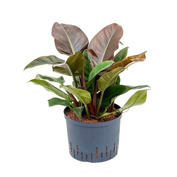 Philodendron Imperial Red - hydrocultuur