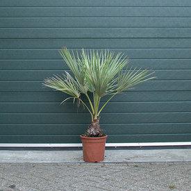 Fleur.nl - Brahea Armata - Mexicaanse Blauwe Palm
