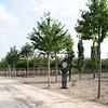 Prunus avium 'Plena' Dubbelbloemige Sierkers